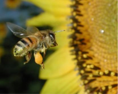 Honey Bee Hootenanny