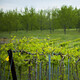 Vignoles Vineyard Field Day