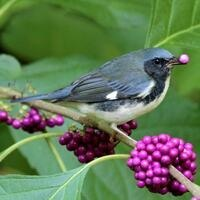 Berries for Birds with Audubon