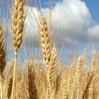 Wheat Plot Tours Smith County and Mitchell County